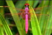Dragonflies / by Kristine Gilmer