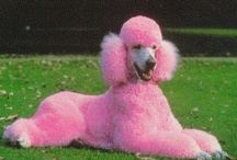 All about poodles / Hunde / by Liane Hoffmann