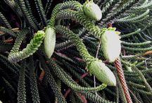 Araucaria / Ancient conifers  / by EricH