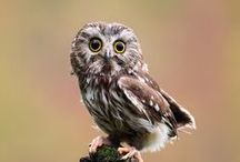 Awesome Owls / Owls, from the adorable to the spectacular / by Annie