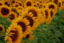 Sunflower Fields Forever / by Cassie Armstrong