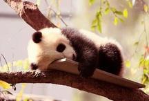 i love pandas / by Barb Knappen
