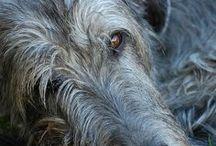 Sight Hound / Greyhounds, Borzois, Afghans, Wolfhounds / by Lara Elizabeth