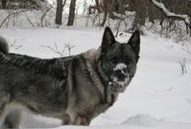 Viking Dogs / Dedicated to my favorite breed, the Norwegian Elkhound and their cousins the Norwegian Buhund and Swedish Vallhund / by Lara Elizabeth