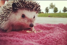 Yes, I have a hedgehog / by Nikki Hershey