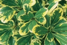 Shrubs with Style / by Southern Living Plant Collection