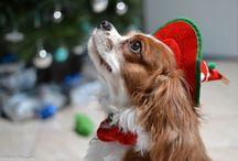 Cavalier King Charles Spaniels / by Michelle Parrant