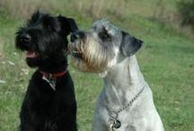 *SCHNAUZERS / I have been owned by both a Giant and a Miniature Schnauzer and there is nothing like them. My heart is really with the Giants... they are very powerful but get into your heart as strong as their muscle. I MISS Angel and Benson so much. R.I.P. / by Janet Marie