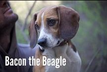 Beagles / I have a Beagle and he's the best. This board celebrates him / by Decater Collins