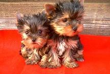 I LOVE YORKIES / Yorkshire Terriers / by Vicki Kimsey-Singer