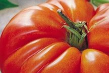 TomaTOES / I'm a Jersey Girl, we have tomatoes in our blood. / by kat DeBlois