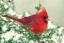 Cardinal / by Mary Morris
