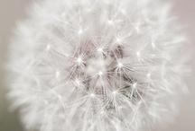 dandelions  / by . Light
