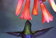 Hummingbirds / by Mary Anne Ketcham