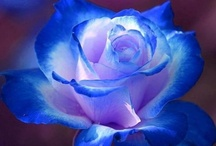 A Rose By Any Other Name....   / by Shelly Smits