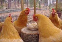Backyard chickens / by L Christine Wehrly