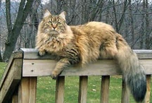 CATS-Maine Coon  / by Carol Robertson