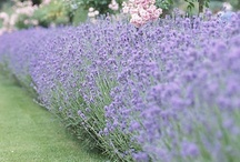Plant Lavender By the Garden Gate for Luck / by Valarie Taylor