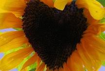 Sunflower Love!! / by Jami Myatt