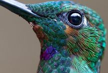 Humming Bird / I have enjoyed watching hummingbirds for years in my own back yard. I have had them flutter right in front of me close enough to touch. Beautiful. Now I enjoy them on here everyday at any time. Enjoy a look. / by Patricia Stautihar