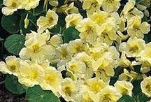 daisies, sunflowers, nasturtium / by Meg Colquhoun