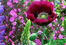 poppies, penstemon and hollyhocks / by Meg Colquhoun