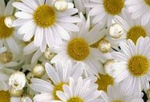Daisies / by Terry Lockwood