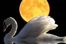 Animal Ally: Swans / Swans, mystical magickal, and a spiritual ally / by Ellen Dugan