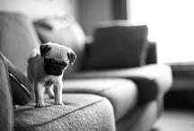 Pugs / by Rae Hartsock