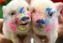 ..Pig Lovers Eye Candy.. / by PetsLady