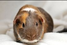 Guinea pigs ♥  / (Cavia porcellus) | Origin: Andean region of South America | Guinea pig is a species of rodent. Despite their common name, these animals are not in the pig family, nor are they from Guinea. The ancestor is most likely Cavia tschudii, and therefore, do not exist naturally in the wild. The common Guinea pig was first domesticated as early as 5000 BC for food by tribes in the Andean region of South America [Wikipedia]. / by Annika Maria
