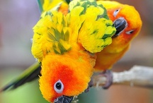 Birds: Sun Conures! Parrots! / Conures are large parakeets or small parrots. Conures and parakeets are small to medium sized parrots. High energy birds, very intelligent and playful. Lorikeets are small parrots found in Australia. / by Trish Robinson