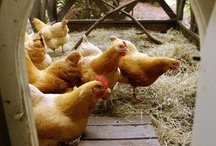 Coops & Chicks / by Melany Gifford
