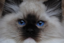 Long Haired Cats / by Beverly Baxter
