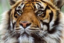 Tigers / by Shawnee Stewart