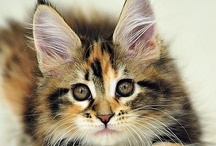 Maine Coon cats / by Sherri