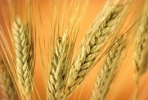 Wheat / by Lauralee Jenkins