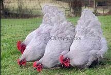 Chickens / by Nurtured Mama