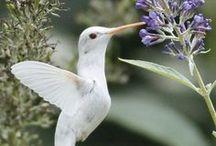 Amazing Hummingbirds / by Robin Cunnagin