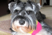 I love Miniture Schnauzers / Some of these are of my Eddie and others are some stunning mini's on Pinterest :-) / by Kim Sherlock