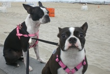 BOSTON TERRIER'S & other CUTE DOGS / Must LOVE DOGS..... MY girls and other cuteness!!  / by Marnie Exum ( McCarthy)