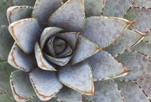Nature Love: Succulents / by Louise Gale | Artist