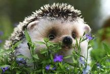 Adorable Hedgehogs / Hedgehogs / by Pam Kirksey