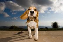 Beagles! / by Carolyn Earsom