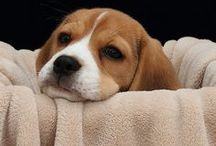 Beagles # 1 / I LOVE BEAGLES!!  Those cute faces. Who can resist? / by Louann Hall