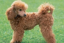 Kleinpudels / Moyen is the French word for the fourth size of the Poodles in France, but the remainder of Europe refers to them as Kleins. Its size falls in-between the Miniature and Standard Poodles, but is not obtained by crossing the two, it is an actual fourth Poodle breed size in Europe, and is not a new size. Some of their talents include: retrieving, agility, watchdog, competitive obedience, and performing tricks. / by Equine Facility Design