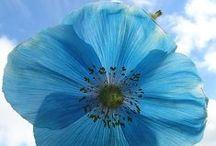 Poppy / I love poppies / by Anne Cossé