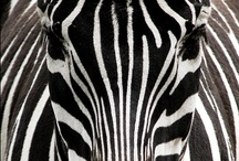 Zebra / Zebra inspiration for Project Isabella Graphic Workshop for developing our clipart, graphics to buy individually, zipped or as craftartist digikit #craftartist / by Project Isabella