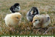Chicken Central & Ducks too / by Regina Dewey