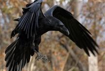 Krähenvögel – Crows & Ravens / by Constanze Wolff